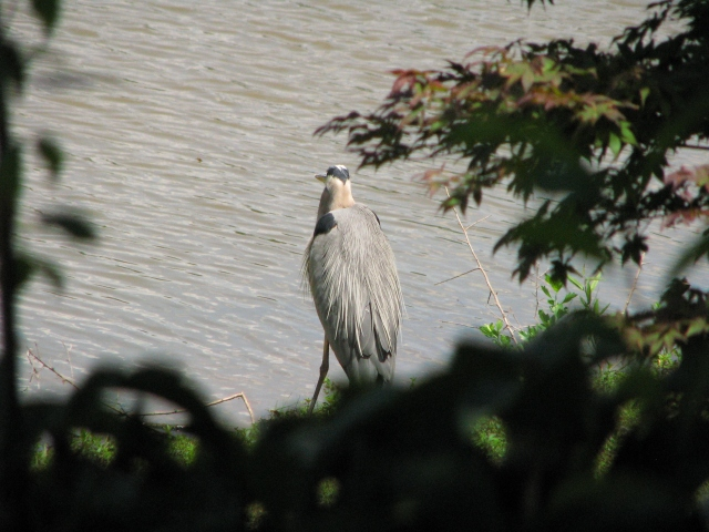 Heron's siesta from behind the hedge