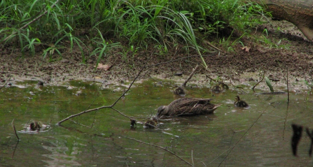 Mother duck and children