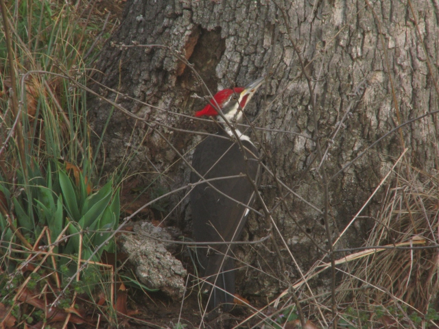 Pileated hanging out with the worms