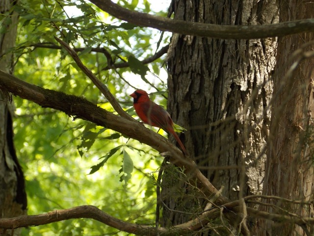 I more readily identify the Cardinal with the grosbeak family when (s)he has his(her) crest laid flat like this.