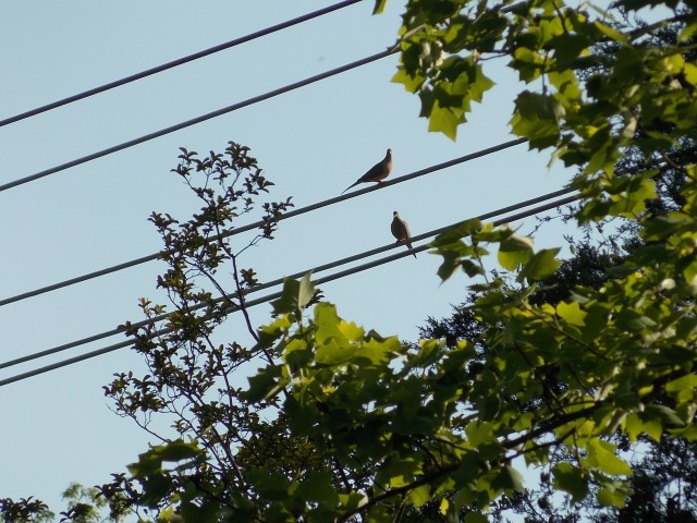 Power line Doves